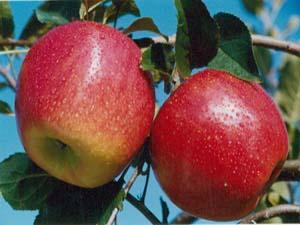 陕西蒲城苹果市场