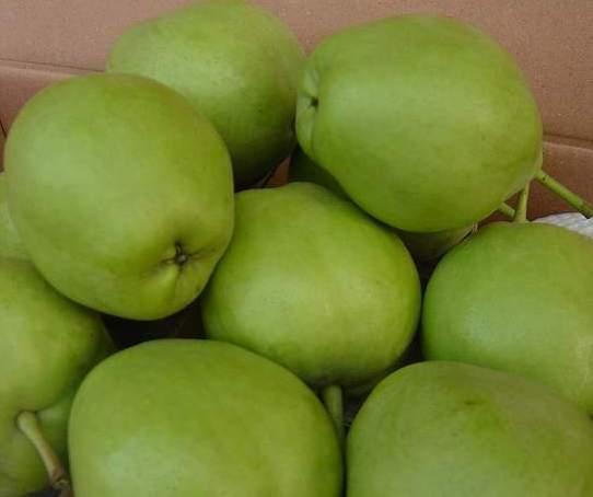 蒲城早熟梨